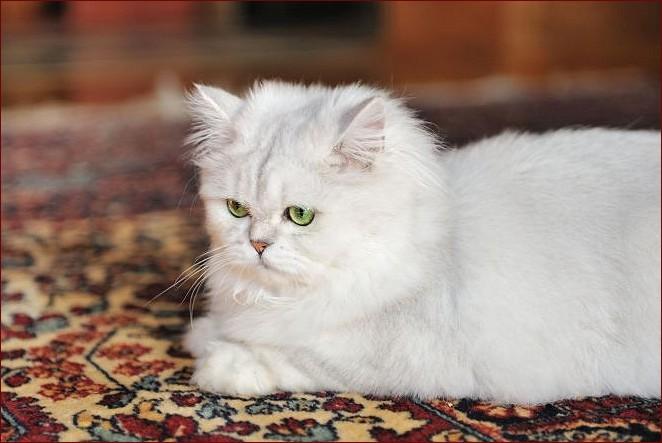 gattone sul tappeto persiano